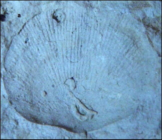 rhipidomella Karbonas- Permas.png