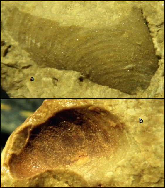 sanguinolites Vidurinis Permas.png