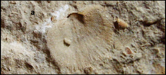 serratocrista Early Carboniferous.png
