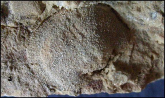 streptorhynchus Vizėjis- Serpuchovis.png