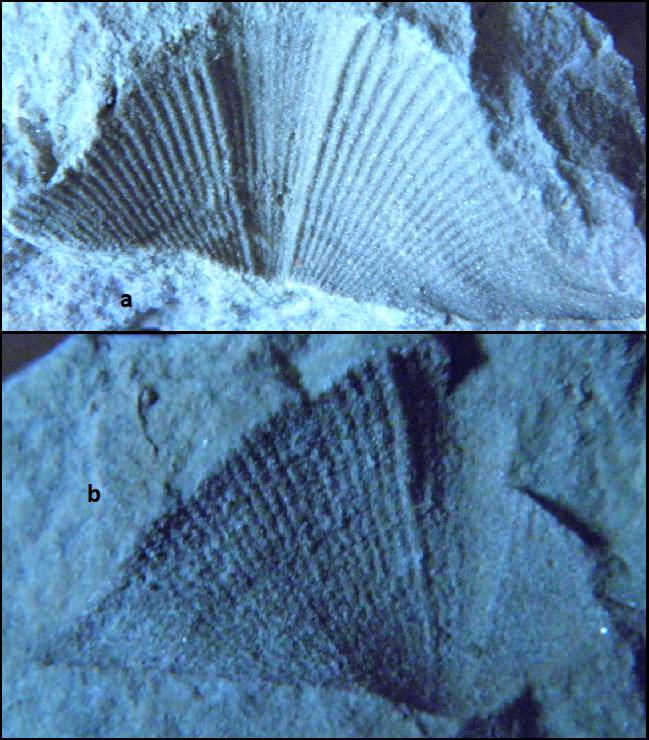 strophopleuridae Vizėjis- Kunguris.png