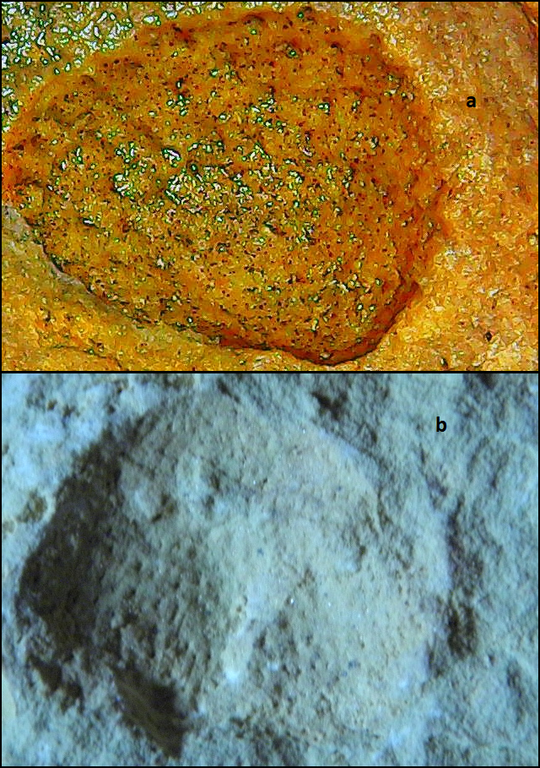 tubersulculus Ankstyvasis Permas.png