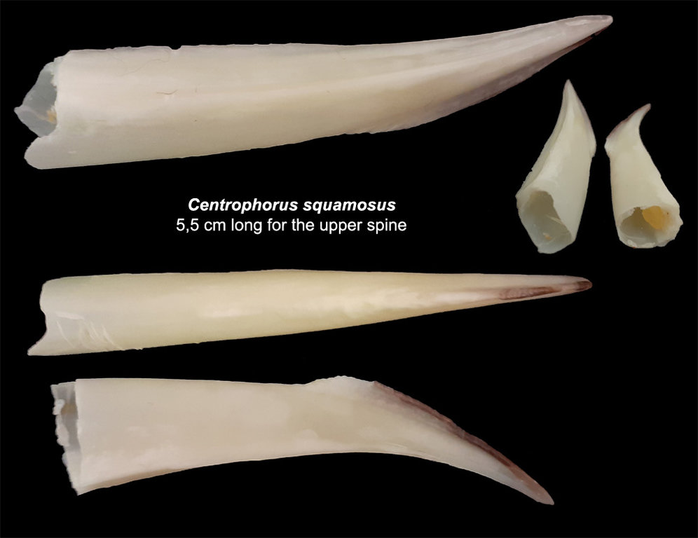 Centrophorus-squamosus.thumb.jpg.344c4e9ce6d3929ee3aaf271f3ab11e3.jpg