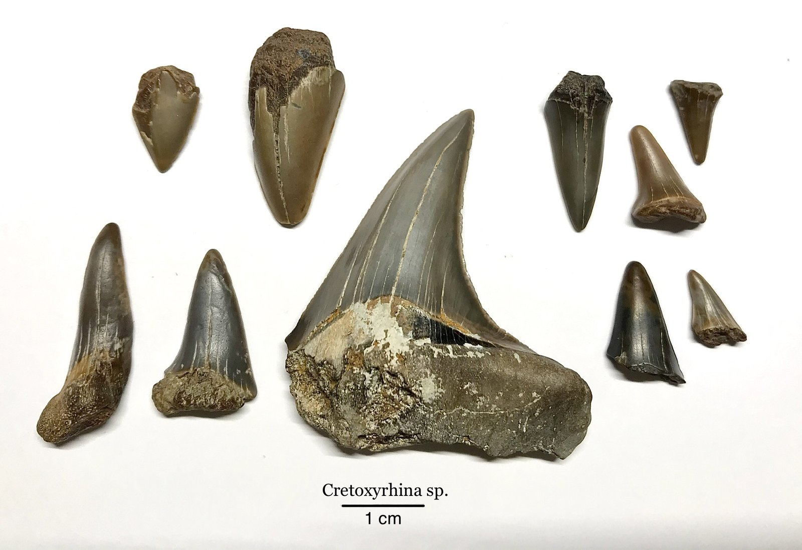 Cretoxyrhina sp. Shark Teeth