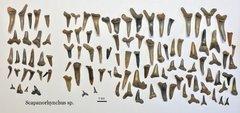 Scapanorhynchus sp. Shark Teeth