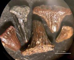 Hybodus sp. Shark Teeth