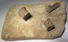 Sauropterygia bones