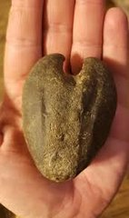 Deer Heart Clam
