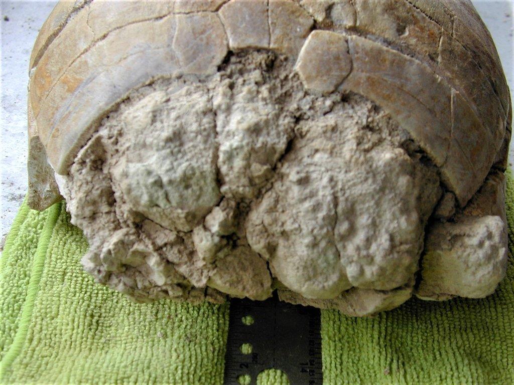 Turtle top front 1 (2).JPG