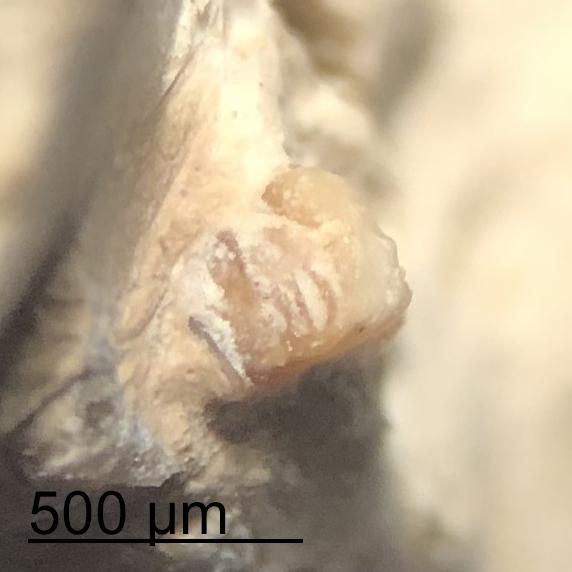 Carnivore-Coprolite-Brule-Bone-Tooth-Surface.jpg.7d4697db4e8add7d6c3070259c624965.jpg