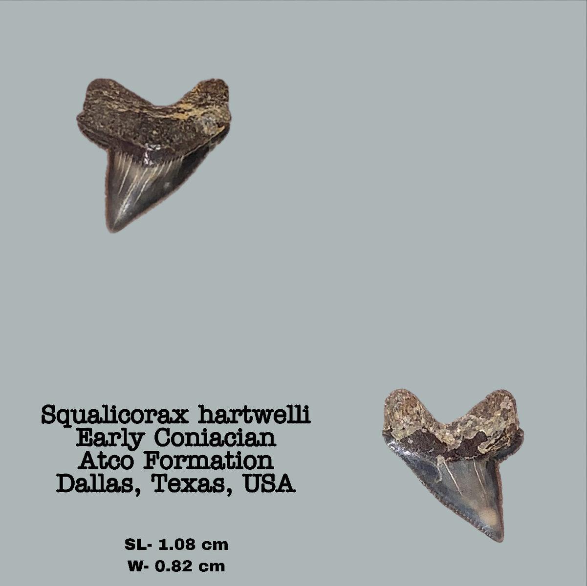 Squalicorax hartwelli