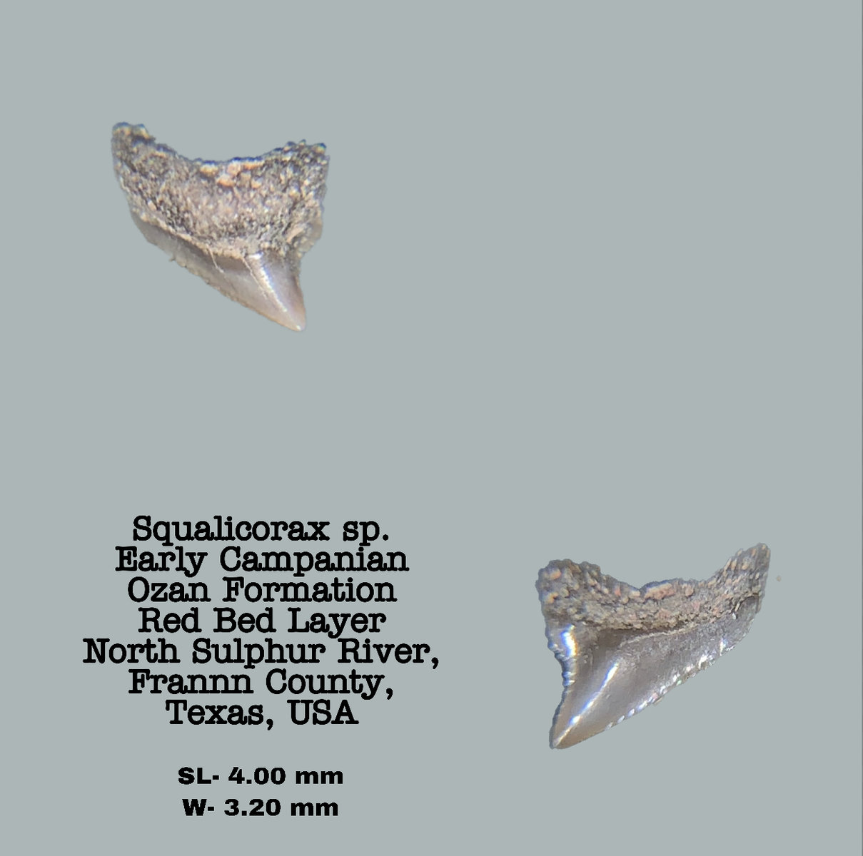 Squalicorax sp.