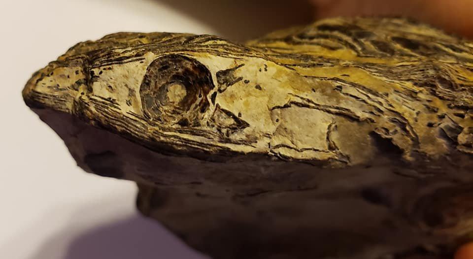 Cretaceous Fish Vert