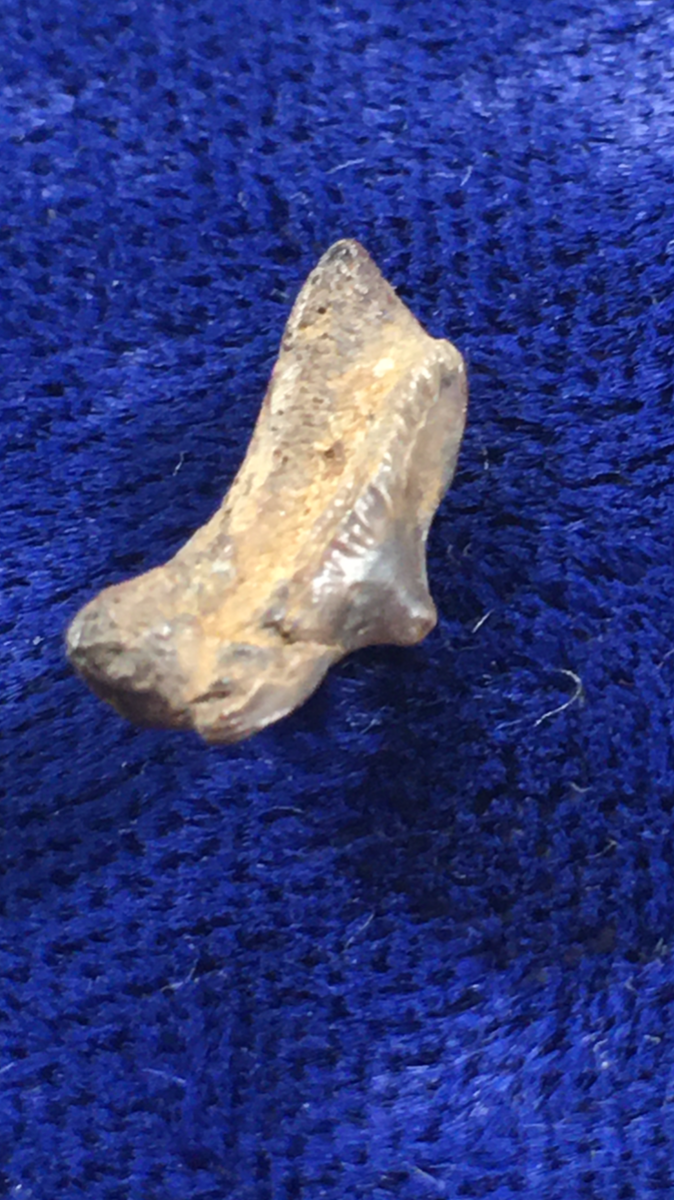 'Button-nose' Posterior Cretodus Crassidens South Dakota
