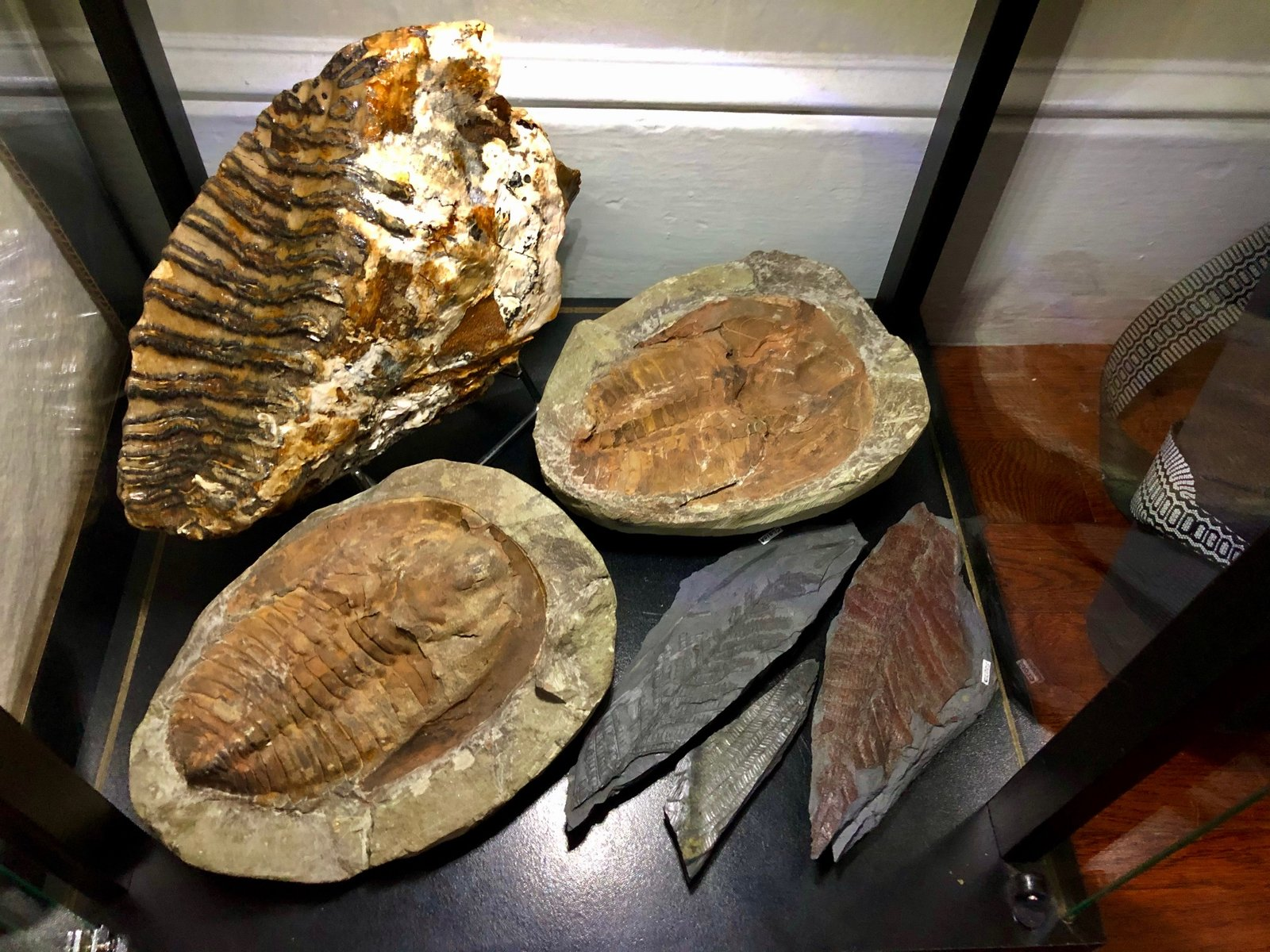 Mammoth M3 Molar, Cambropallas and Ferns