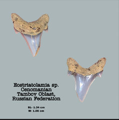 Cenomanian Shark Teeth, Tambov Oblast, Russia