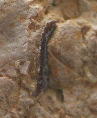 Cenomanian coprolite detail