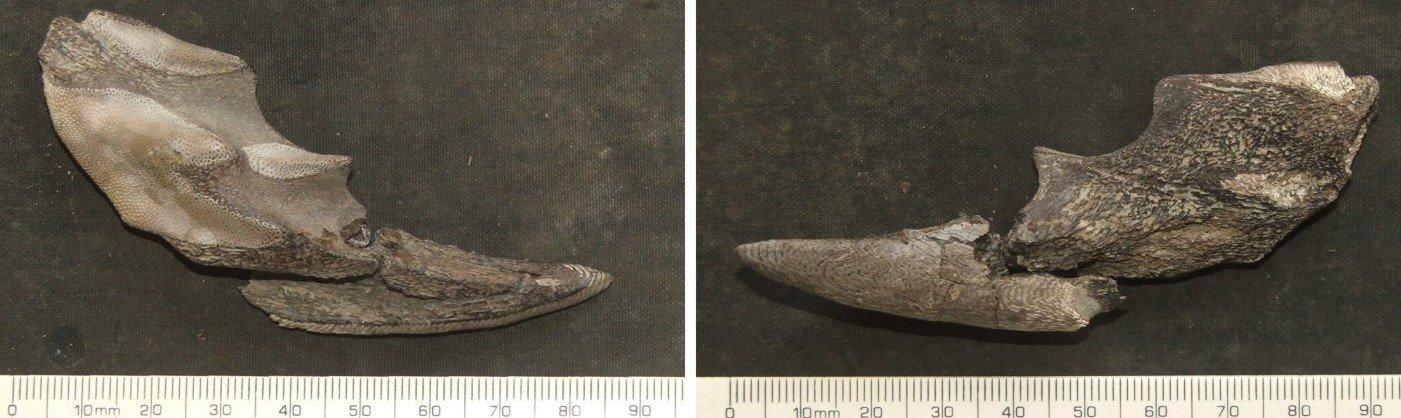 Edaphodon leptognathus.jpg