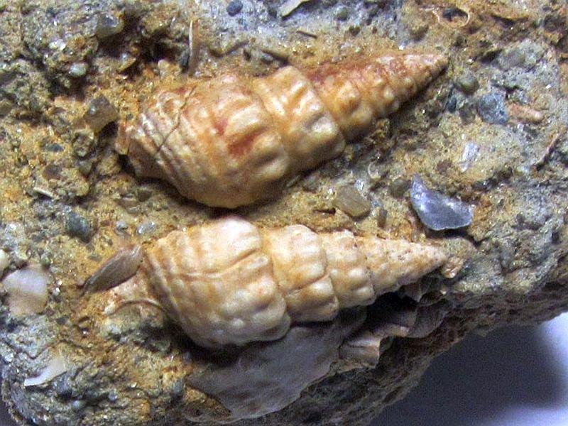 Granulolabium bicinctum (Brocchi 1814)