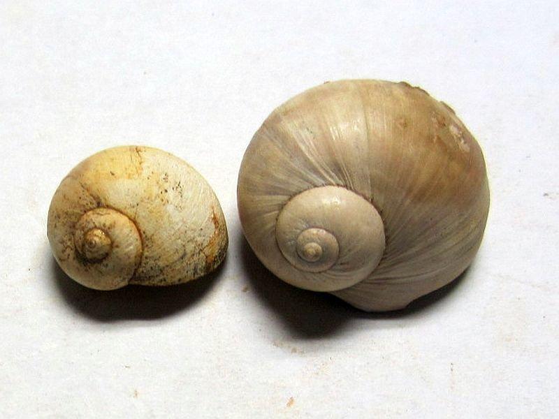 Cochlis sp. (Roeding 1798)