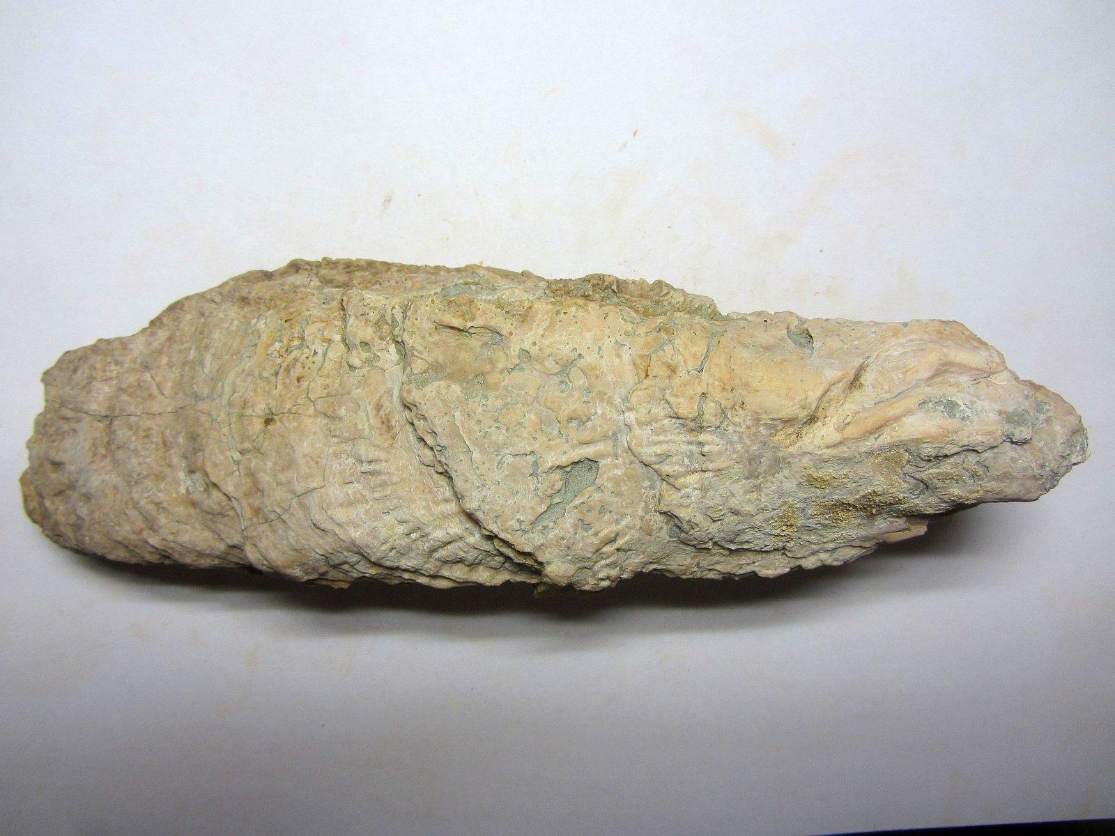 Crassostrea gryphoides (Schlotheim 1813)