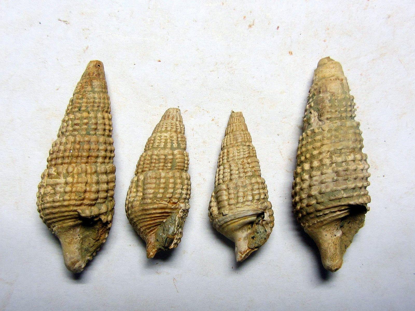 Terebralia duboisi (Hoernes 1855)