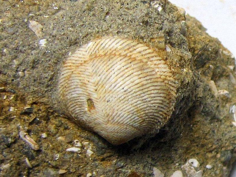 Divaricella ornata (Reeve 1850)