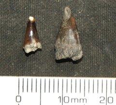 Sphyraenodus sp.