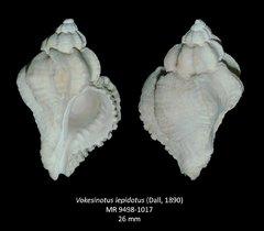 Vokesinotus lepidotus