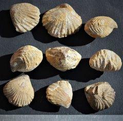 Torquirhynchia torquata Callovien inférieur Normandy