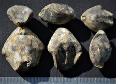 Sellithyris sella Bedoulien Massif de la Clape Aude France