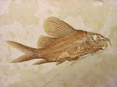 Propterus elongatus
