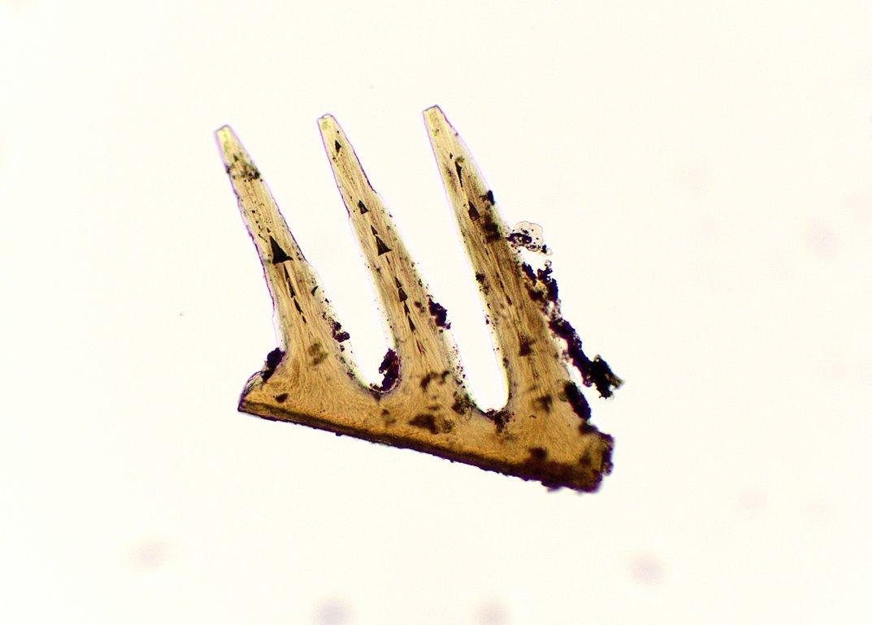 5ecd6d19b4fca_conodontelongated3teethwithmedialdenticularpoints.thumb.jpg.889c41d7b60a8322631a2c3a43964f0b.jpg