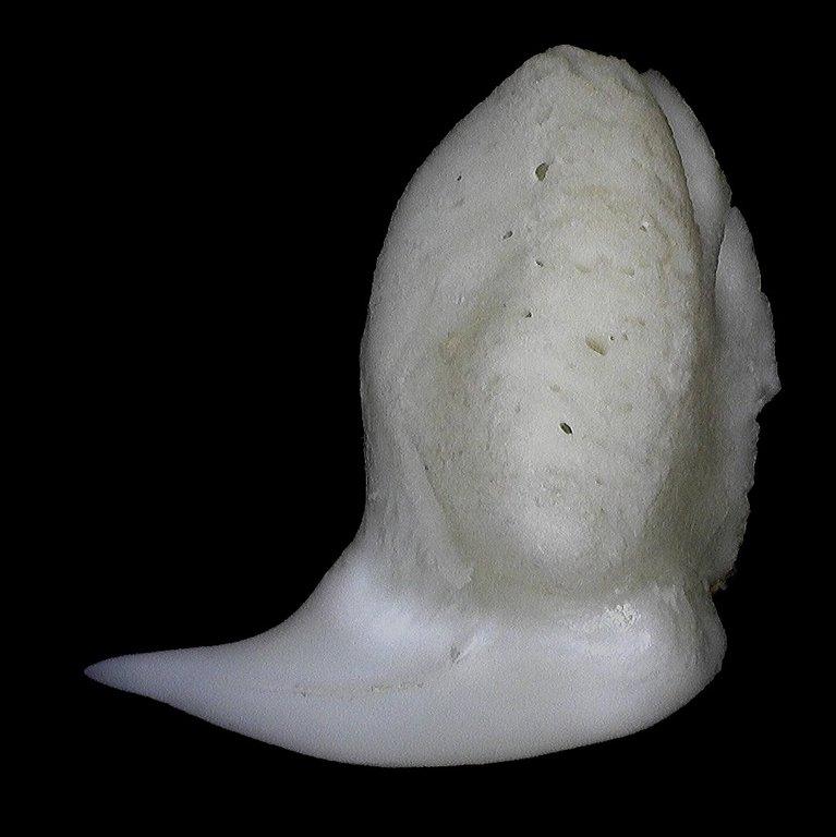 5ecfc5bc902d1_Rhincodontypus(WhaleShark)4mm2.thumb.jpg.c4f936bb6e9c513c286e30a0abf240dc.jpg