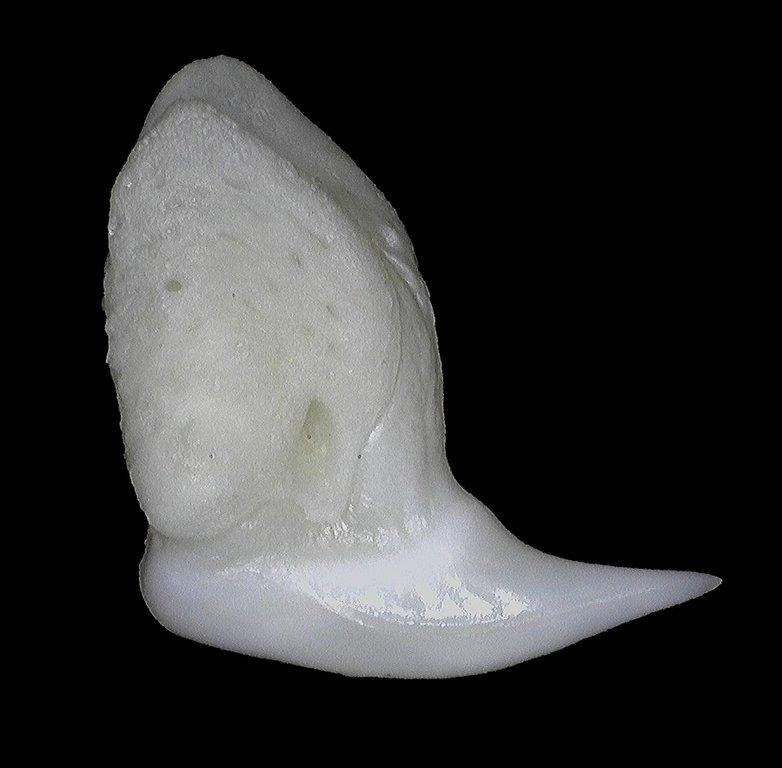 5ecfc5c4684ab_Rhincodontypus(WhaleShark)24mm2.thumb.jpg.b2f1009f8371491f6c78cfb454f840cb.jpg
