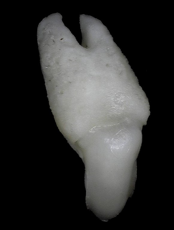 5ecfc5c6e5721_Rhincodontypus(WhaleShark)24mm.thumb.jpg.fed823c8d8645792a219374d13b3227f.jpg