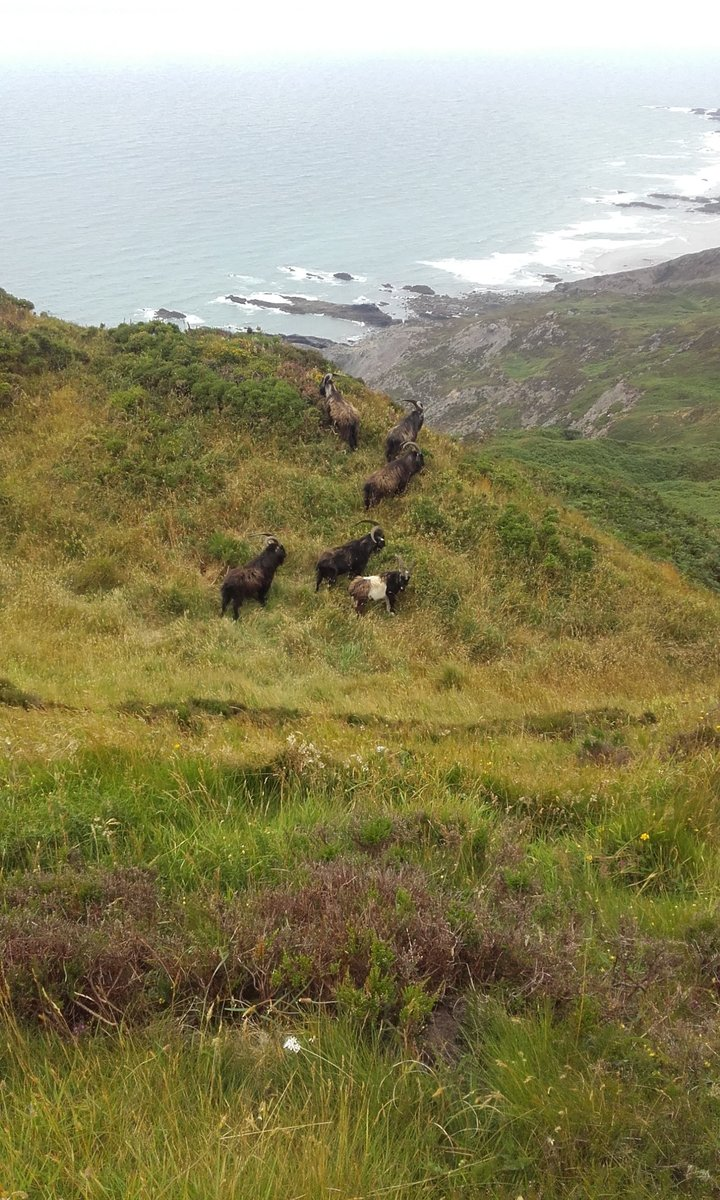 Goats on Cornwall's highest cliff, High Cliff.