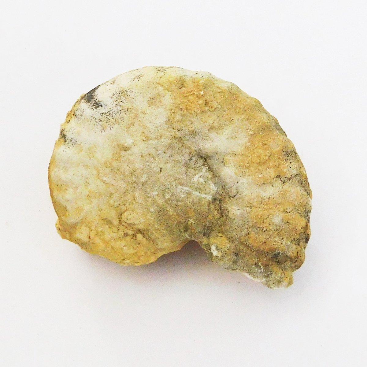 Ammonite Budaiceras