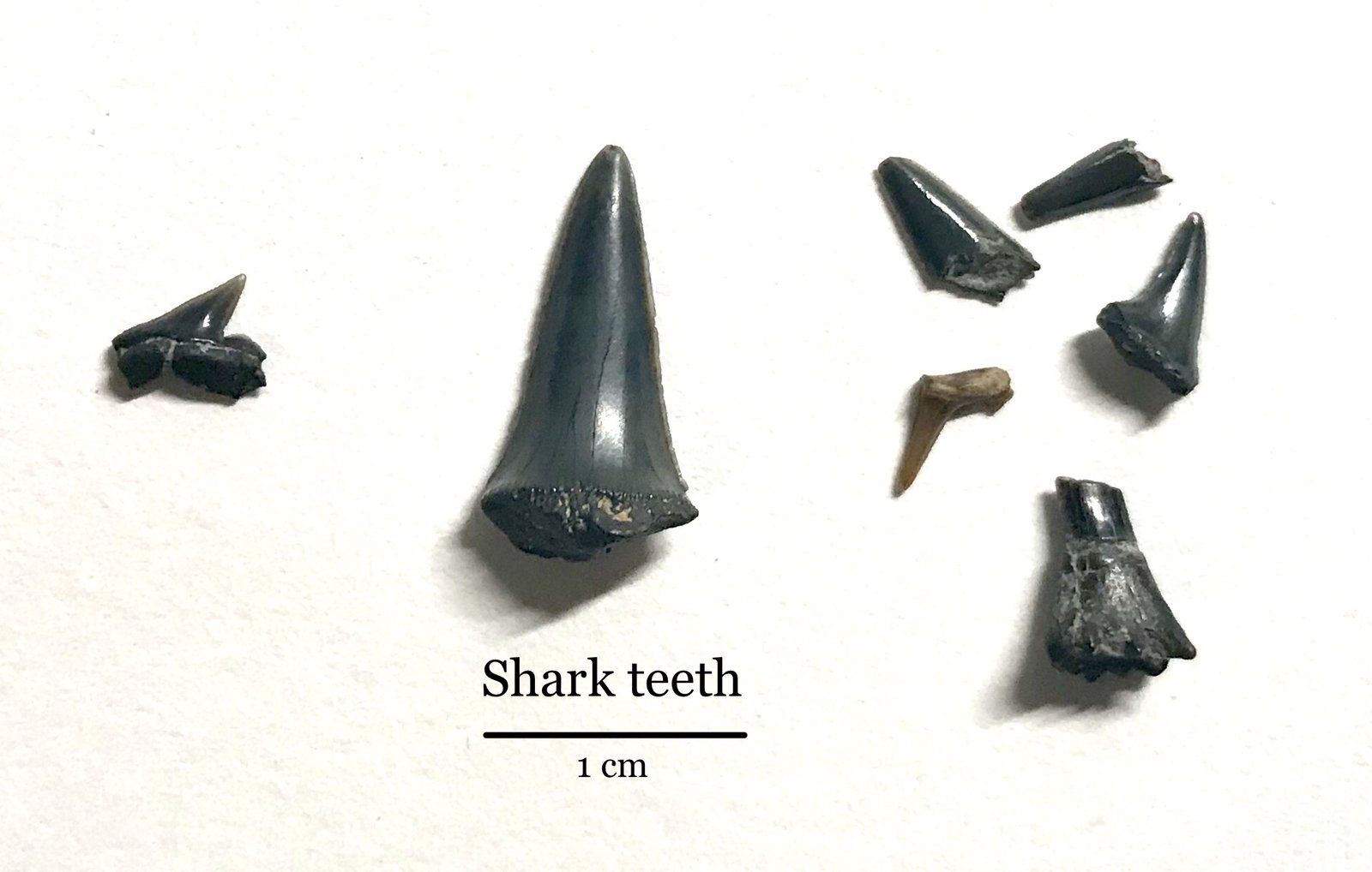 Shark teeth (and sawfish)