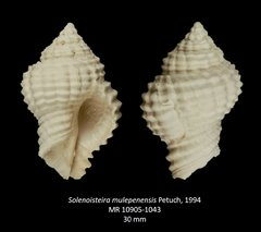 Solenoisteira mulepenensis