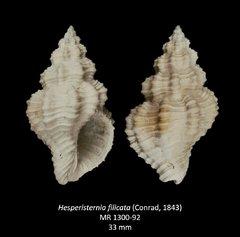 Hesperisterniafilicata