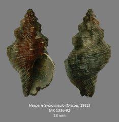 Hesperisternia insula