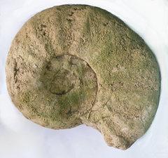 Ammonite Eopachydiscus