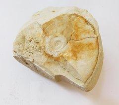Ammonite Pachydiscus travisi