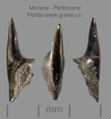 AB CC 20 fish tooth.png