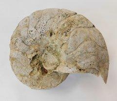 Nautiloid Cymatoceras