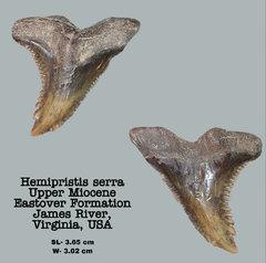 Hemipristis serra
