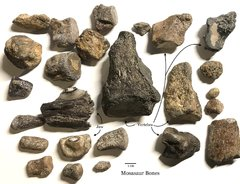 Mosasaur bones