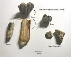 Mammal teeth