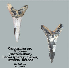 Carcharias sp.